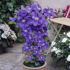 Patio Clematis Blue, Boulevard(r) Series