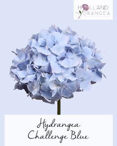 Holland Hydrangea - Our Range | Quality Dutch Grown Hydrangeas | Visit our website for more information www.holland-hydrangea.com