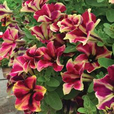 Petunia 'Peppy Cerise' - Annual Bedding Plants - Van Meuwen