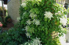 Klatrehortensia (blomstrer juni-juli)