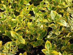 EUONYMUS FORTUNEI EMERALDN GOLD C2L                                                Repkény kecskerágó Shrubs, Emerald, Garden, Plants, Gold, Google Search, Garten, Lawn And Garden, Shrub