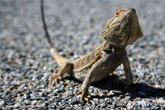 Lizard on Road, New South Wales Outback, Australia . Australian Landscape Photography, Order Prints, Canvas & Stock Photos by Michael Boniwell. Lizard Species, Square Photos, Photo Checks, Simple Bags, Bearded Dragon, Best Memories, Landscape Photography, Kittens, Framed Prints