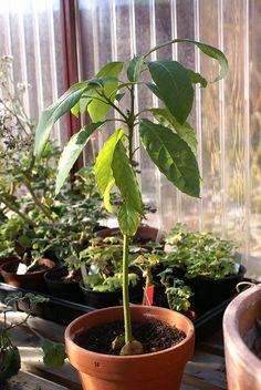 Avokadoplanta uppvuxen i växthus