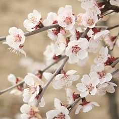Mini-Standard Japanese Blossom Cherry Prunus Kojo-No-Mai - Ideal for containers. Japanese Garden Plants, Japanese Landscape, White Cherry Blossom, Cherry Tree, Blossom Trees, Blossom Flower, White Flowers, Beautiful Flowers, Small Flowers