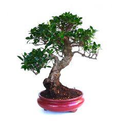 Disponible à la Vente, ce superbe Bonsai Ficus Retusa de 55 cm 131210 chez Sankaly Bonsaï, Boutique Spécialisée Bonsaï