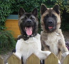 #Akita #Puppy #Dog♡... re-pin by StoneArtUSA.com ~ custom pet memorials.  See more DOGS and FENCES  http://www.pinterest.com/stoneartusa/~-dogs-fences-~/