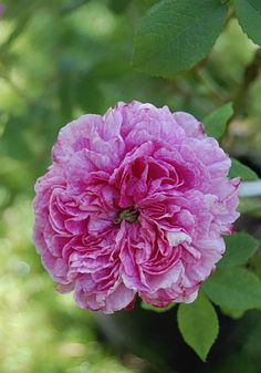 Gallica Rose: Rosa 'Le Grand Sultan' (France, before 1799)