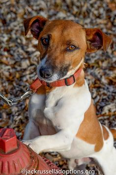 Georgia Jack Russell Rescue, Adoption and Sanctuary | Duffy #adoptable #dog…