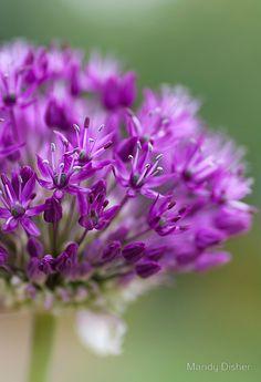Allium by Mandy Disher