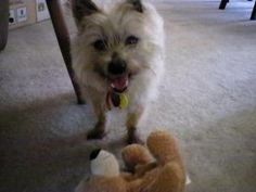 Sadie is an adoptable Cairn Terrier Dog in Minneapolis, MN. Please request an online application at dogs@pethavenmn.org. Age:  11 yrs old Good with dogs: Yes Good with cats: Supposedly Good with kids:...