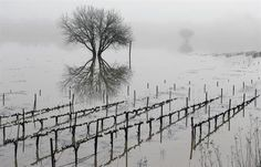 AP PHOTOS: Eerie, icy-looking: Vineyard flooding catches eye