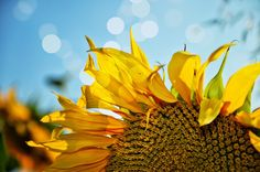 Sunflower Photography Print Picture of a by flyingbike on Etsy