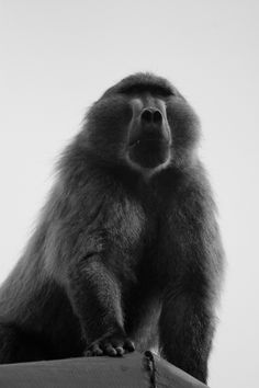 One of the larger male baboons that frequent kommetjie. Regular raids for the last week now. Lots of fun with water guns