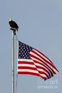 'merica!   Bald eagle and American flag