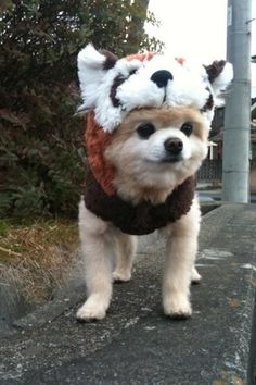 OMG when i get a dog he will have a red panda outfit