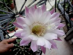 Echinopsis tubiflora Flowering Succulents, Cacti And Succulents, Desert Plants, Cactus Flower, Amazing, Gardens, Gardening, Mother Nature, Beauty