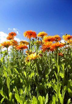 Die Ringelblume gilt als große Heilpflanze und wird besonders gern als Salbe angewandt. Du kannst sie aber auch in der Küche und im Garten nutzen! -  Bild von Berdan [CC BY-SA 3.0]