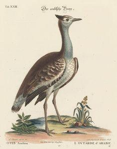 Arabian Bustard George Edward Bird Engraving 18th Original by Printvilla4you