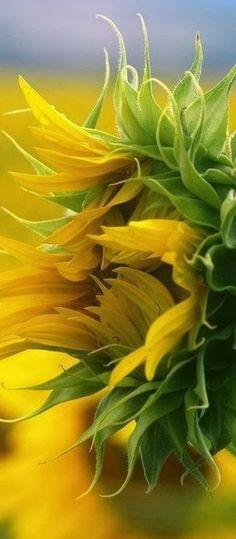 -: Summer Shine :- Sunflower