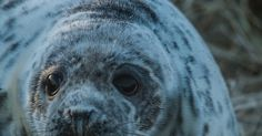 Photo: The puppy dog eyes of a seal pup https://link.crwd.fr/2XuN