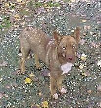 american indian dog, Brown sable