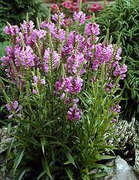 Kellopeippi Bog Plants, Garden Plants, Obedient Plant, Dutch Gardens, Annual Plants, Large Flowers, Rose Bouquet, Water Garden, Fall Season