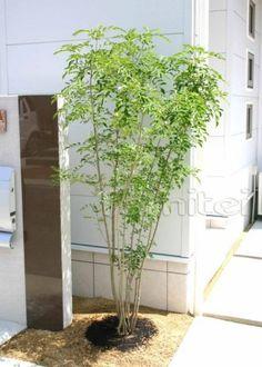 施工例シンボルツリー 植栽/シマトネリコ(現場番号:00001213)