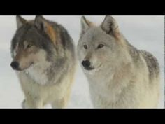 Wolves were rescued from the brink of extinction over 35 years ago when they gained federal protection under the Endangered Species Act. Today the American wolf is again in grave danger. Since President Obama removed the gray wolf from the endangered species list in April 2011 and turned management of these majestic animals over to state wildlif...