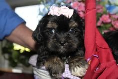 another cute puppy for sale, featured at http://www.petsplusonline.com