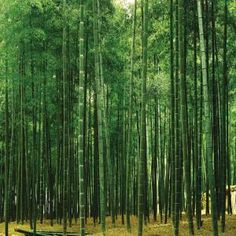 Washington 150 in. x 108 in. Bamboo Plantation Wall Mural, DS8011 at The Home Depot - Mobile