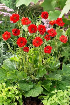 One of the most popular and well-known varieties. Holds an RHS Award of Garden Merit. This flowers fabulously. I think it needs some new geum friends Formal Garden Design, Rock Garden Design, Vegetable Garden Design, Garden Landscape Design, Geum Jan Di, Hampton Garden, Small Backyard Landscaping, Landscaping Design, Gardening For Beginners