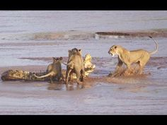Lion Pride Vs Crocodile - Who Won Lion Pride or Crocodile (Documentary)