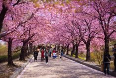 Cherry Blossoms, Olympic Park, Seoul, South Korea