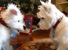 """Multiplicity white west highland terrier """"westie"""""""