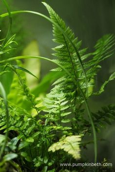 My Polystichum tsussimense fern, as pictured on the 10th July 2016, inside my BiOrbAir terrarium.