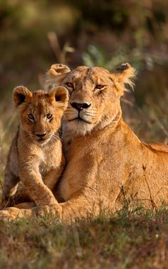 Lioness and Lion cub #Kenya