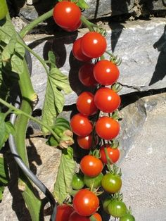 How to Use an Epsom Salt Mix as a Fertilizer for Tomatoes
