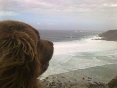 Bilbo looking at the surf.