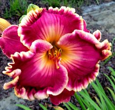 Like Wildfire Daylily ~ Beautiful!