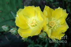 Closeup of yellow flowers on Prickly Pear Cactus.