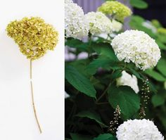 """""""Big, mop-headed hydrangea plants, like Hydrangea macrophylla, should be cut back to about three stems for form,"""" explains Harris. """"Remember to cut on a slant with the higher end at the outside of the plant, to prevent new stems from growing inward."""""""