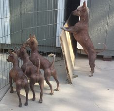 Xoloitzcuintli Primitive Breed Rescue - Introducing Xolos to Other Dogs