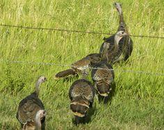 Wild turkeys - a common sight in the Black Hills