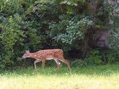 One of the many deer in Maine...