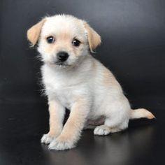 Pom-Chi (Pomeranian - Chihuahua) Puppy