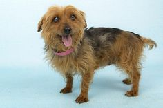 Ladybug is available for adoption at National Mill Dog Rescue. #adopt #dog #nmdr #puppymill #adoptdontshop