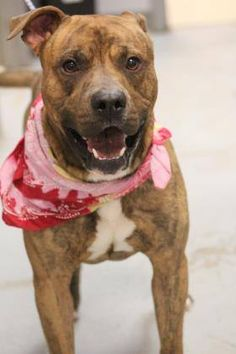 ADOPTED>NAME: Kanye  ANIMAL ID: 34368924 BREED: Pit  SEX: male(altered)  EST. AGE: 2 yr  Est Weight: 65 lbs  Health: Heartworm neg  Temperament: dog friendly, people friendly- food aggression  ADDITIONAL INFO: RESCUE PULL FEE: $35  Intake date: 1/6  Available: Now