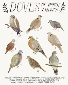 Doves of North America, Archival quality open-edition print of an illustration by Kelsey Oseid, signed on the back by the artist. Paper size is 8 x North American Animals, Bird Guides, Mourning Dove, Just Ink, Nature Artists, Rare Birds, Bird Illustration, Bird Pictures, Watercolor Animals