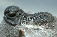 Gerastos granulosus Moroccan Trilobite