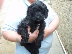 Black Cockapoo Puppies For Sale